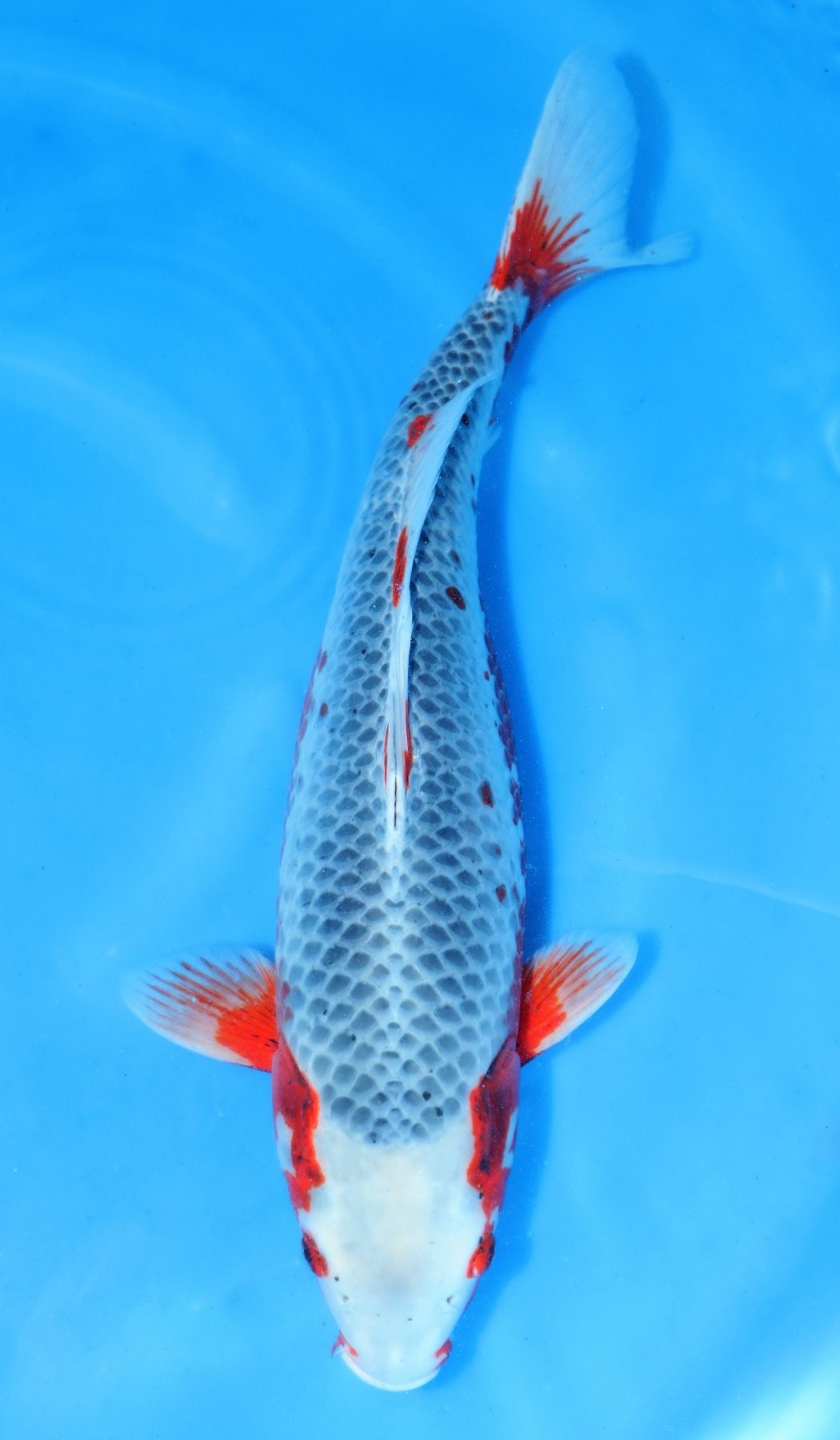 Asagi blue sold grand koi llc for Benigoi koi for sale