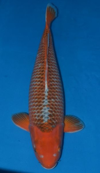 Hi asagi grand koi llc for Benigoi koi for sale