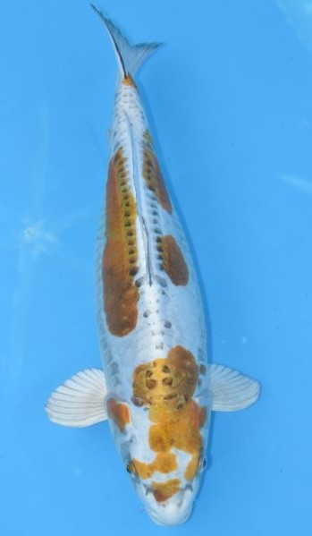 Ki kikusui grand koi llc for Kikusui koi