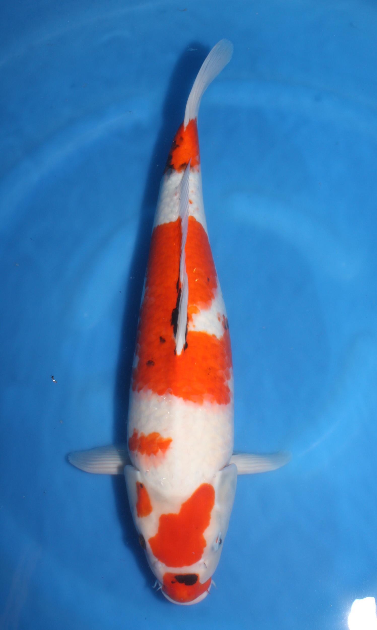 Sanke grand koi llc for Sanke koi fish