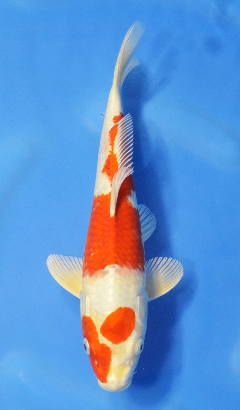 Hariwake sick grand koi llc for Koi hariwake