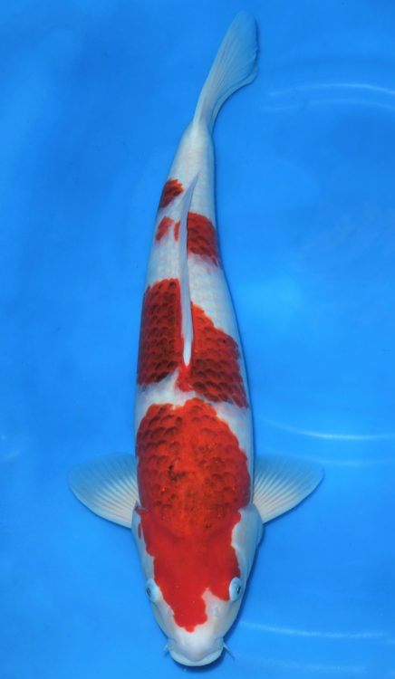 Product categories goromo for Wholesale koi fish for sale