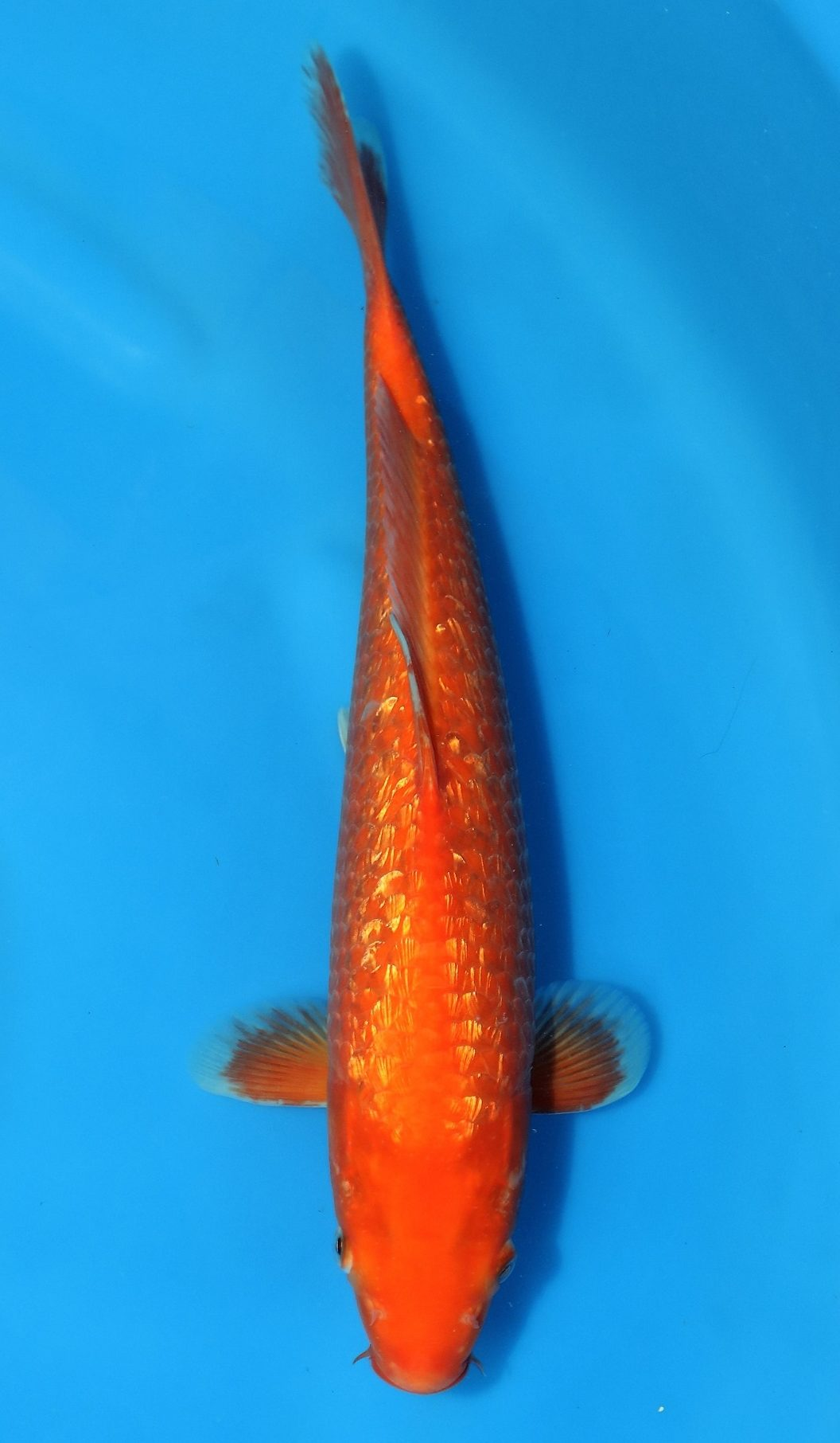 Gin rin benigoi grand koi llc for Benigoi koi for sale