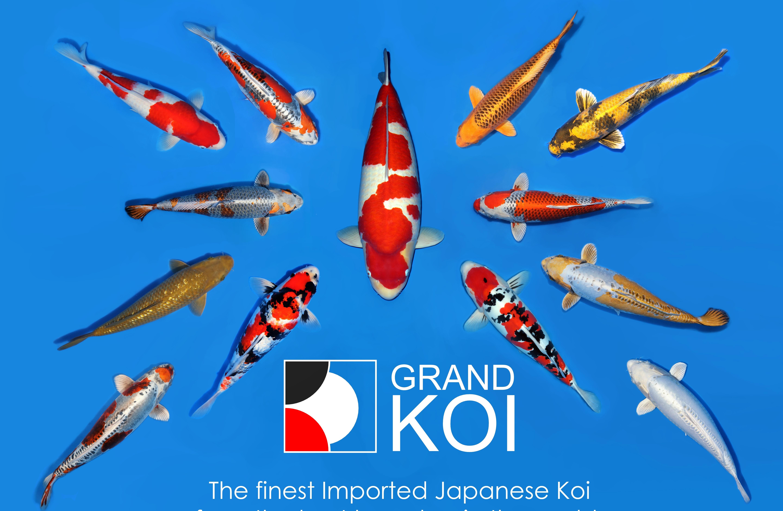 Grand koi llc for Where can i buy koi fish