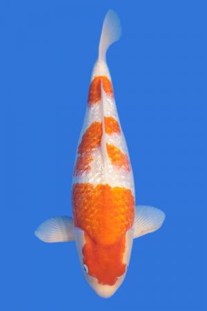 Kohaku