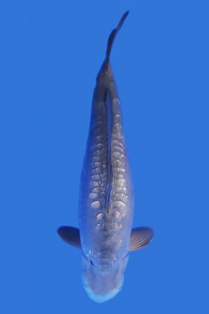 Doitsu Gin Koi Fish