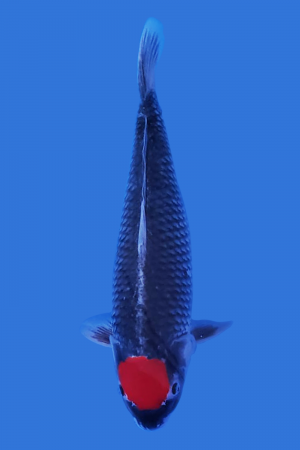 Tancho Goshiki Koi Fish