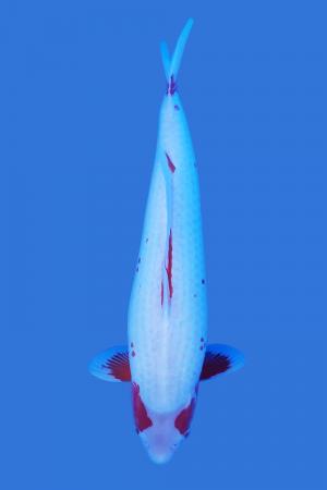 Yuki Asagi Koi Fish