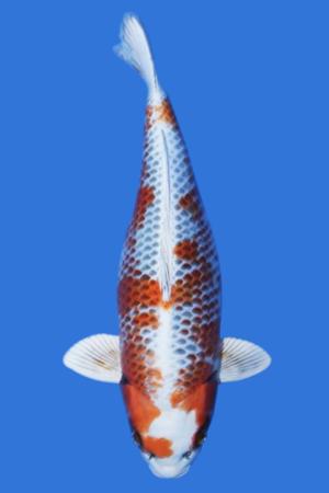 Kanoko Kujaku